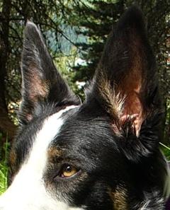 oreilles chiens.JPG