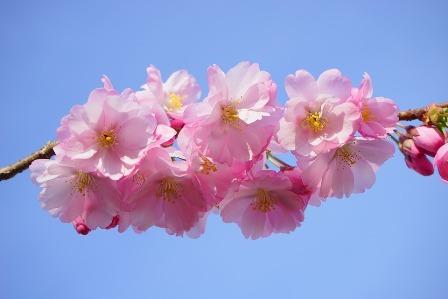 japanese-cherry-trees-324186_960_720.jpg