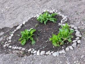 Blettes qui ont survécu à l'hiver entourées de cailloux