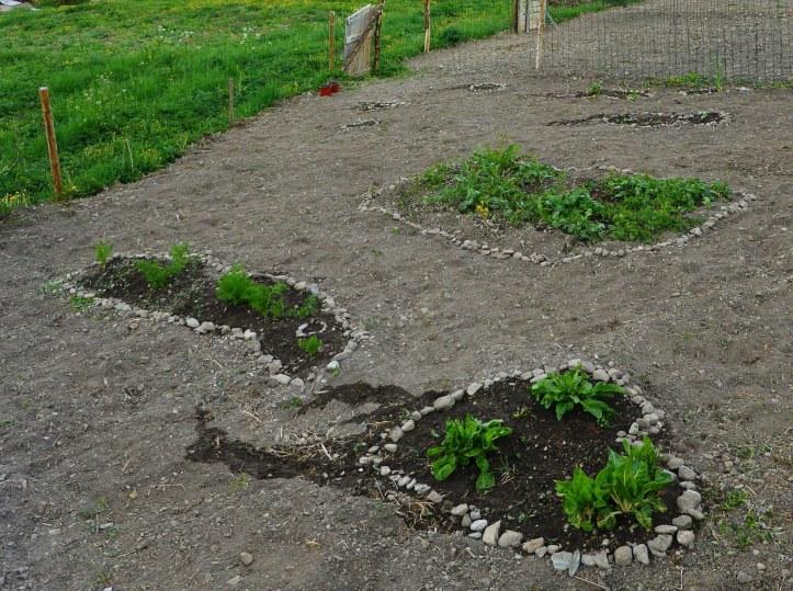 début de potager par îlots blettes carottes, oignons, courges.JPG