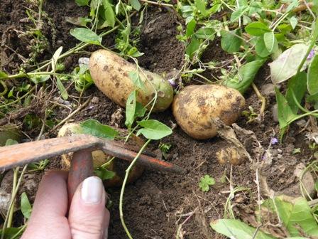 gratter légerement le sol pour sortir les pommes de terre