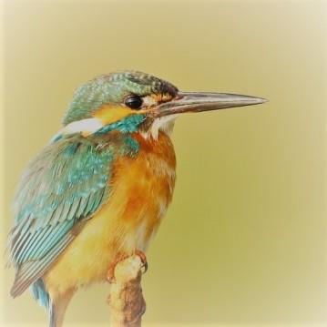 kingfisher-1850226_960_720.jpg