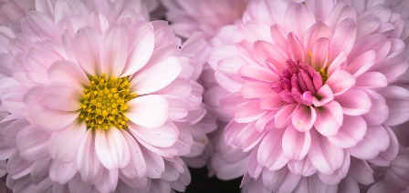 chrysanthemum-2896751_960_720.jpg