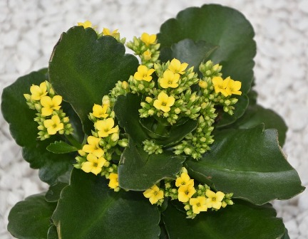 flowers-kalanchoe-yellow-2684906_960_720.jpg
