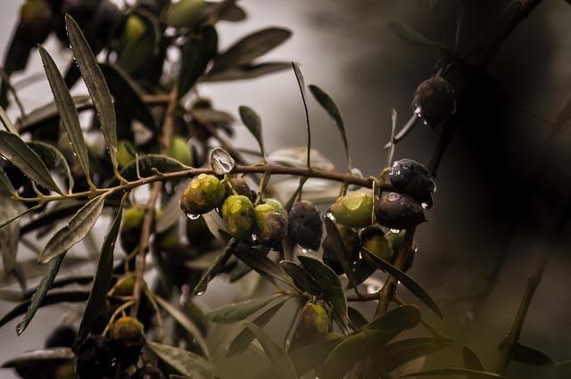 olives-4567293_640